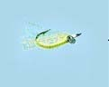 Turrall Saltwater Crazy Charlie Chartreuse - Sw15