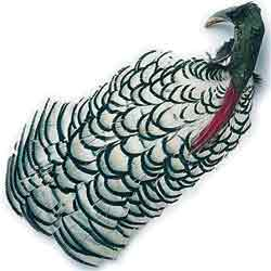 Amherst Pheasant Complete Head No2