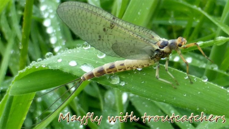 Mayfly Fly Fishing