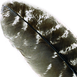 Natural Barred Mottled Turkey Wing Quills